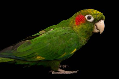 Photo: Hoffman's conure (Pyrrhura hoffmanni gaudens) at a private collection.