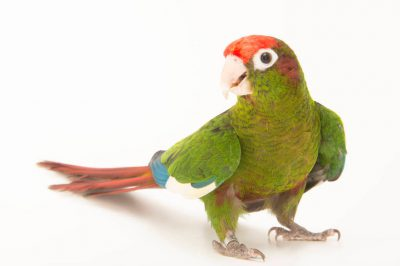 Photo: Rose-crowned parakeet (Pyrrhura rhodocephala) at a private collection.