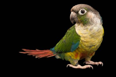 Picture of a green-cheeked conure (Pyrrhura molinae hypoxantha) at a private collection.