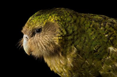 Picture of a critically endangered Kakapo (Strigops habroptilus) at Zealandia, in Wellington, New Zealand.