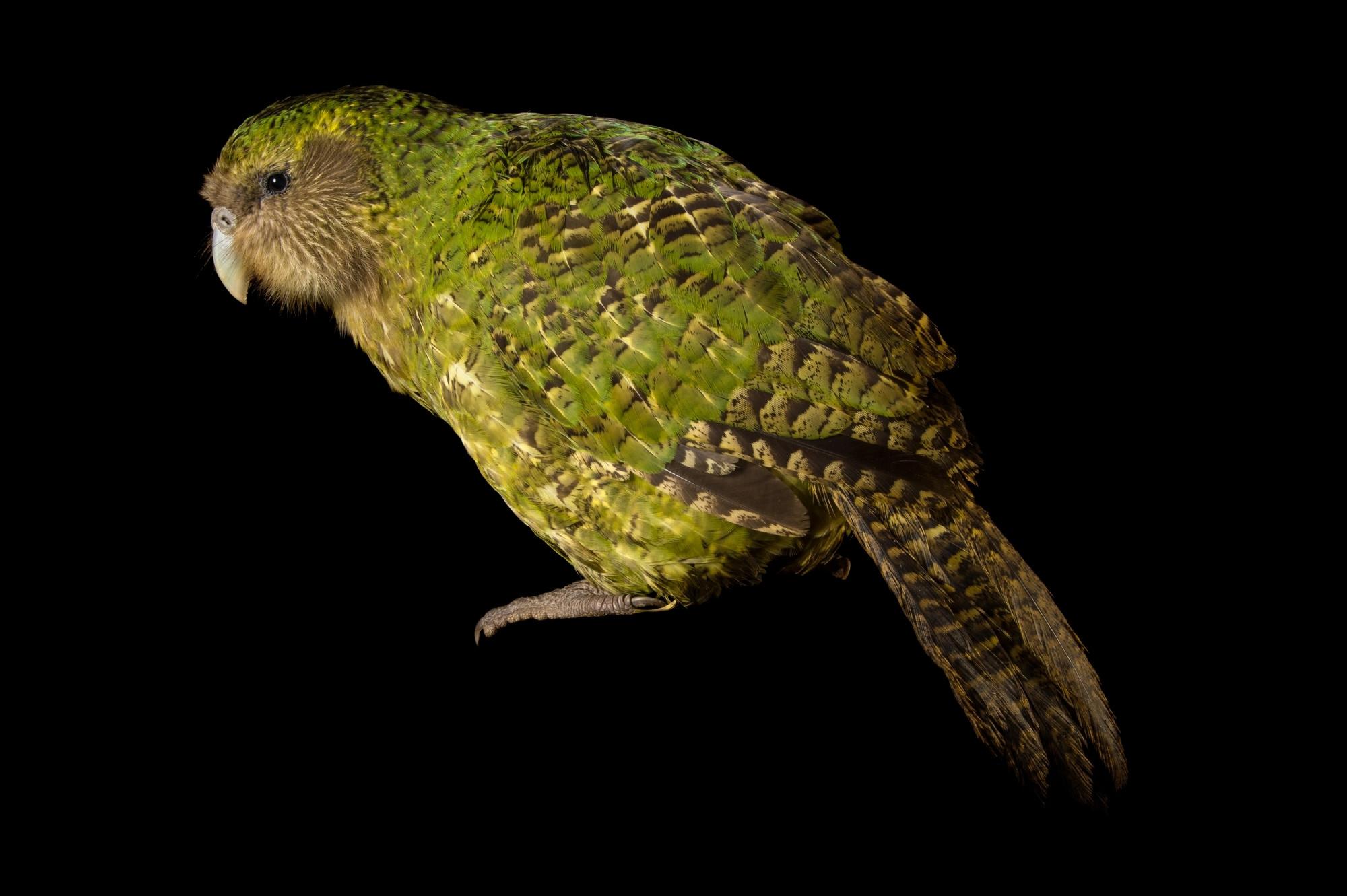 Сколько стоит какапо птица