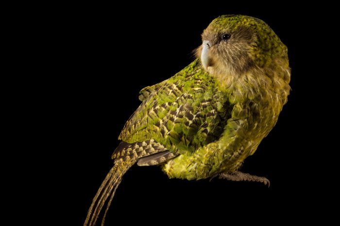 Picture of a critically endangered Kakapo (Strigops habroptilus) at Zealandia, in Wellington, New Zealand.