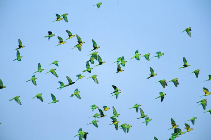 Photo: Peach-fronted parakeets in flight in Brazil's Pantanal.?