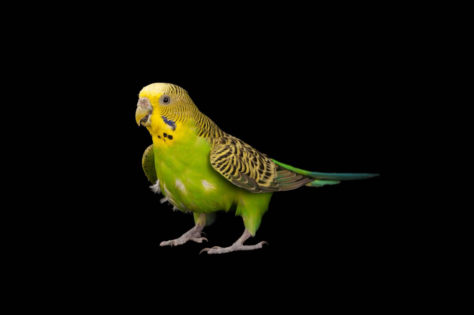 Bush budgie (Melopsittacus undulatus) at Parrots in Paradise, a bird attraction in Glass House Mountains, Queensland.