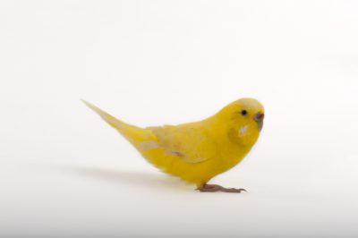 A budgerigar, also known as a shell parakeet (Melopsittacus undulatus)