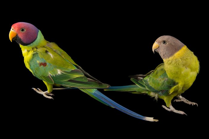 Picture of two plum-head parakeets (Psittacula cyanocephala) at Pandemonium Aviaries in Los Altos Hills, California.