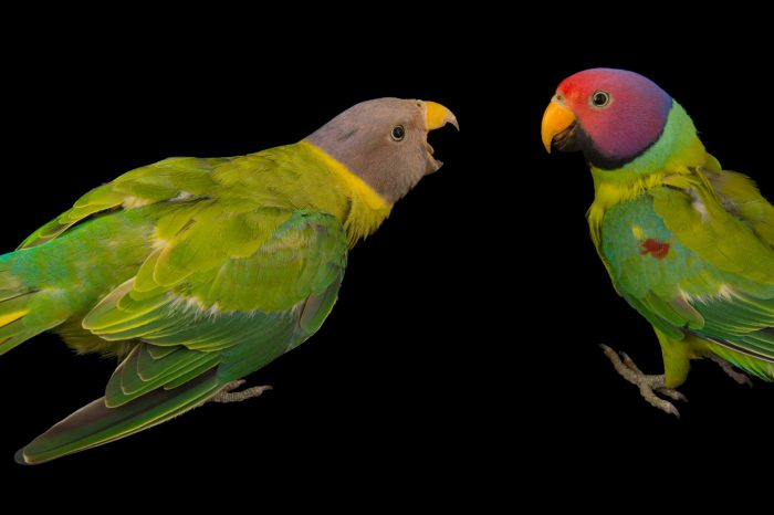 Picture of two plum-head parakeets (Psittacula cyanocephala) at Pandemonium Aviaries in Los Altos Hills, California.
