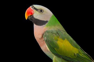 Picture of a male moustached parakeet (Psittacula alexandri) at Pandemonium Aviaries in Los Altos Hills, California.