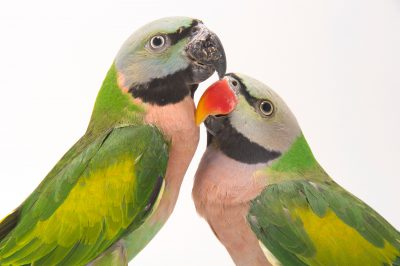 Picture of two moustached parakeets (Psittacula alexandri) at Pandemonium Aviaries in Los Altos Hills, California.