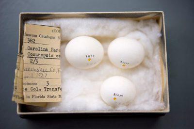 The last eggs of the Carolina parakeet (Conuropsis carolinensis) at the Florida Museum of Natural History.