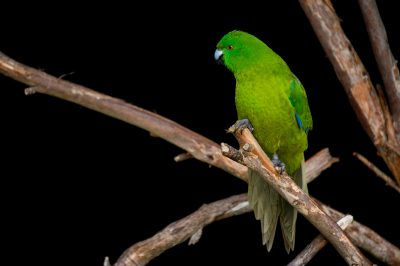 Picture of a vulnerable Antipodes parakeet (Cyanoramphus unicolor) at the Auckland Zoo.