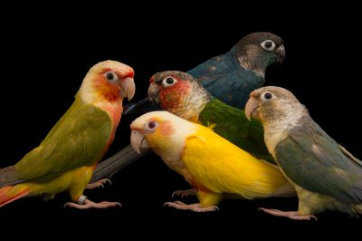 Picture of green-cheeked parakeets (Pyrrhura molinae sordida) from a private collection.