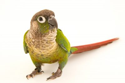 Photo: A green-cheeked parakeet (Pyrrhura molinae restricta) from the private collection of Gery Dupas.