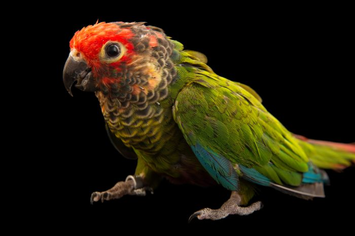 Picture of a rose-fronted parakeet (Pyrrhura roseifrons parvifrons) from a private collection.