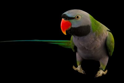 Picture of a Lord Derby's parakeet (Psittacula derbiana) at the Wellington Zoo.