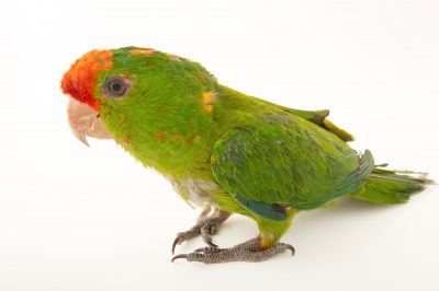 Photo: A scarlet-fronted parakeet (Psittacara wagleri) at Parque Jaime Duque near Bogota, Colombia.