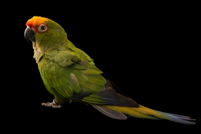 Photo: A golden capped conure (Aratinga auricapillus) at the Jurong Bird Park.