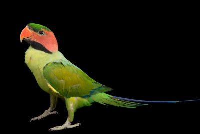 Photo: A male long-tailed parakeet (Psittacula longicauda longicauda) at Penang Bird Park.