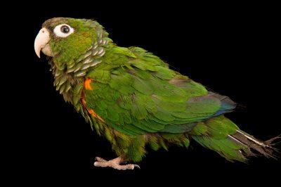 Photo: Fiery-shouldered parakeet (Pyrrhura egregia) from the town of Honnecourt Sur Escault, France.