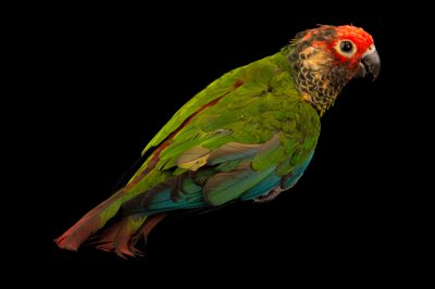 Rose-fronted parakeet (Pyrrhura roseifrons parvifrons) from the town of Honnecourt Sur Escault, France.