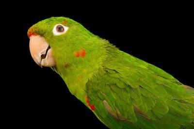 Photo: White-eyed parakeet (Psittacara leucophthalmus leucophthalmus) from the town of Honnecourt Sur Escault, France.