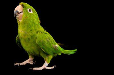 Photo: A Pacific parakeet (Psittacara holochlorus strenuus) from the town of Honnecourt Sur Escault, France.