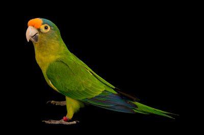 Photo: An orange fronted parakeet (Eupsittula canicularis eburnirostrum) from the town of Honnecourt Sur Escault, France.