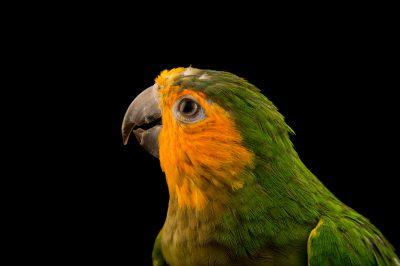 Photo: A brown throated parakeet (Eupsittula pertinax pertinax) from the town of Honnecourt Sur Escault, France.