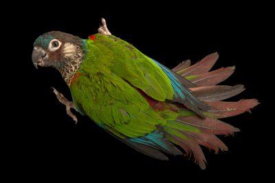 Photo: A painted parakeet (Pyrrhura picta picta) from the town of Honnecourt Sur Escault, France.