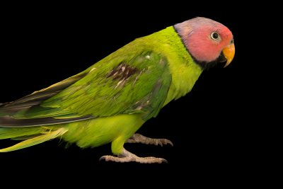 Photo: A blossom-headed parakeet (Psittacula roseata) at Phnom Tamao Wildlife Rescue Center - Wildlife Alliance.