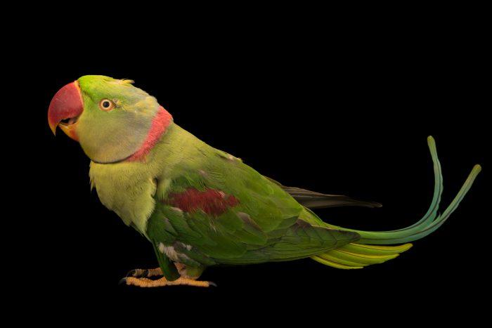 Photo: An Alexandrine parakeet (Psittacula eupatria siamensis) at Phnom Tamao Wildlife Rescue Center - Wildlife Alliance.