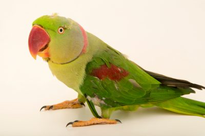 Photo: An Alexandrine parakeet (Psittacula eupatria siamensis) at Phnom Tamao Wildlife Rescue Center - Wildlife Alliance.