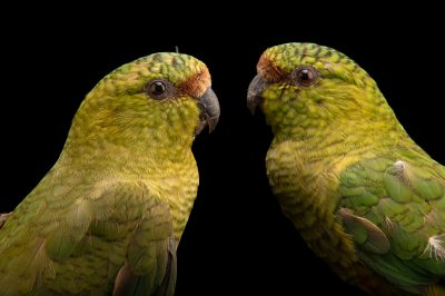 Photo: A mated pair of Austral parakeets (Enicognathus ferrugineus minor) at Fauna Andina, a conservation center near Villarrica, Chile.