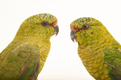 Photo: A mated pair of Austral parakeet (Enicognathus ferrugineus minor) at Fauna Andina, a conservation center near Villarrica, Chile.