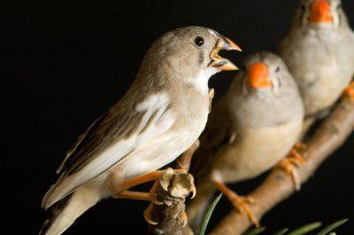 Photo: Long-tailed finches (Poephila acuticauda) at the Bramble Park Zoo.