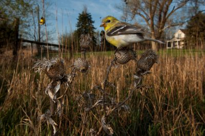 Photo: Goldfinches on a Nebraska farm.