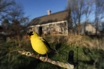 An American goldfinch (Carduelis tristis) perched at Waveland Farm near Walton, Nebraska.