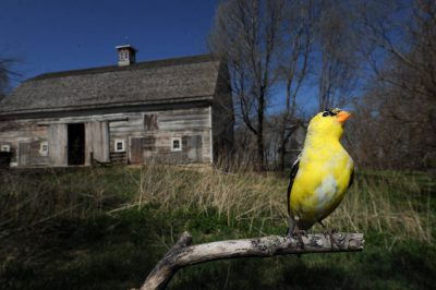 American goldfinch (Carduelis tristis) perched at Waveland Farm near Walton, Nebraska.