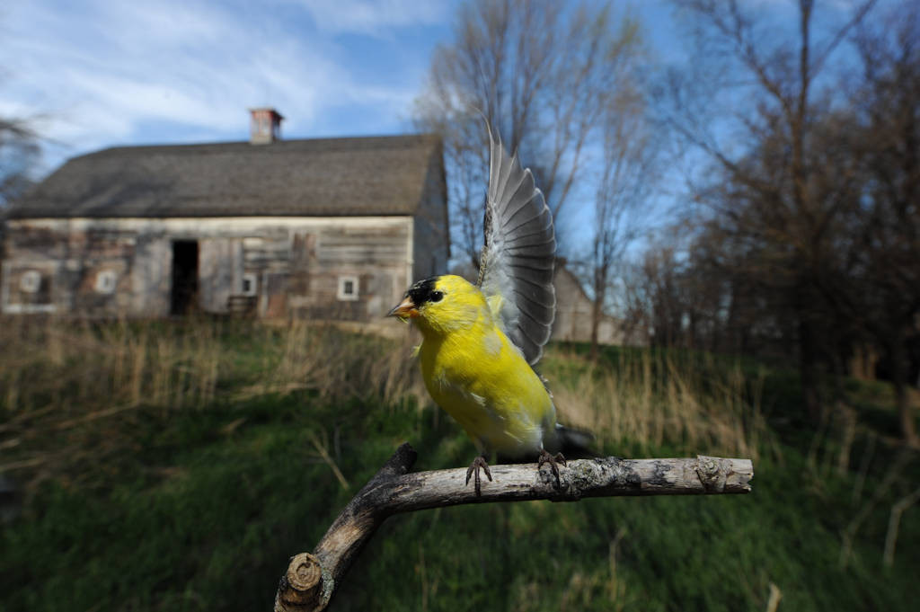 American goldfinch (Carduelis tristis) perched at Waveland Farm near Walton, Nebraska.
