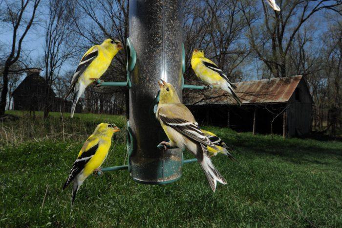 American goldfinch (Carduelis tristis) feed at Waveland Farm near Walton, Nebraska.