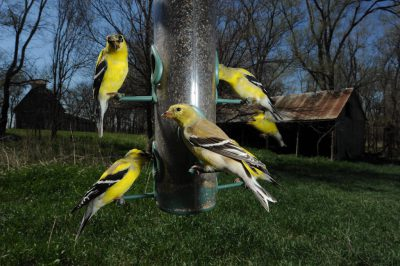 American goldfinch (Carduelis tristis) feed at Waveland Farm near Walton, Nebraska.