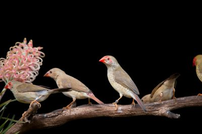 Star finches (Neochmia ruficauda) feeding on grevillea flowers at the Melbourne Zoo in Australia.