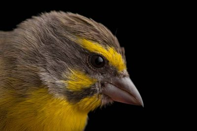 A yellow-fronted canary (Crithagra mozambicus mozambicus) from Chitengo Camp, Gorongosa National Park.