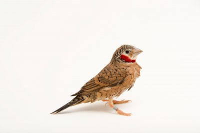 Picture of a male cut-throat finch (Amadina fasciata) at the Tulsa Zoo.