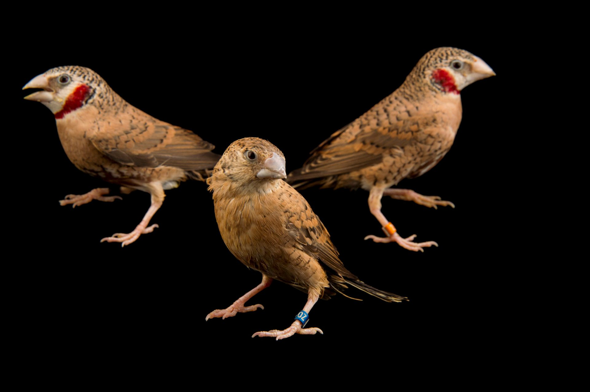 Picture of male and female cut-throat finches (Amadina fasciata) at the Tulsa Zoo. The male has red on his throat.