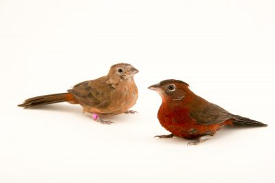 Picture of red-crested finches (Coryphospingus cucullatus) at the Tulsa Zoo.
