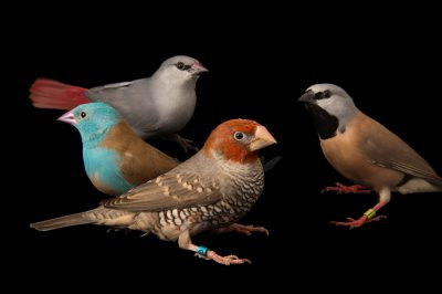 Picture of various finches including a blue-headed cordon-bleu (Uraeginthus cyanocephala), a lavender waxbill (Estrilda caerulescens), a red-headed Finch (Amadina erythrocephala) and a white-rumped parson finch (Poephila cincta cincta) at the Tulsa Zoo.