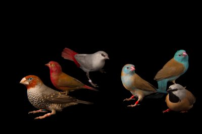 Picture of various finches including two blue-headed cordon-bleus (Uraeginthus cyanocephala), a lavender waxbill (Estrilda caerulescens), a red-headed Finch (Amadina erythrocephala), a red-billed firefinch (Lagonosticta senegala) and a white-rumped parson finch (Poephila cincta cincta) at the Tulsa Zoo.