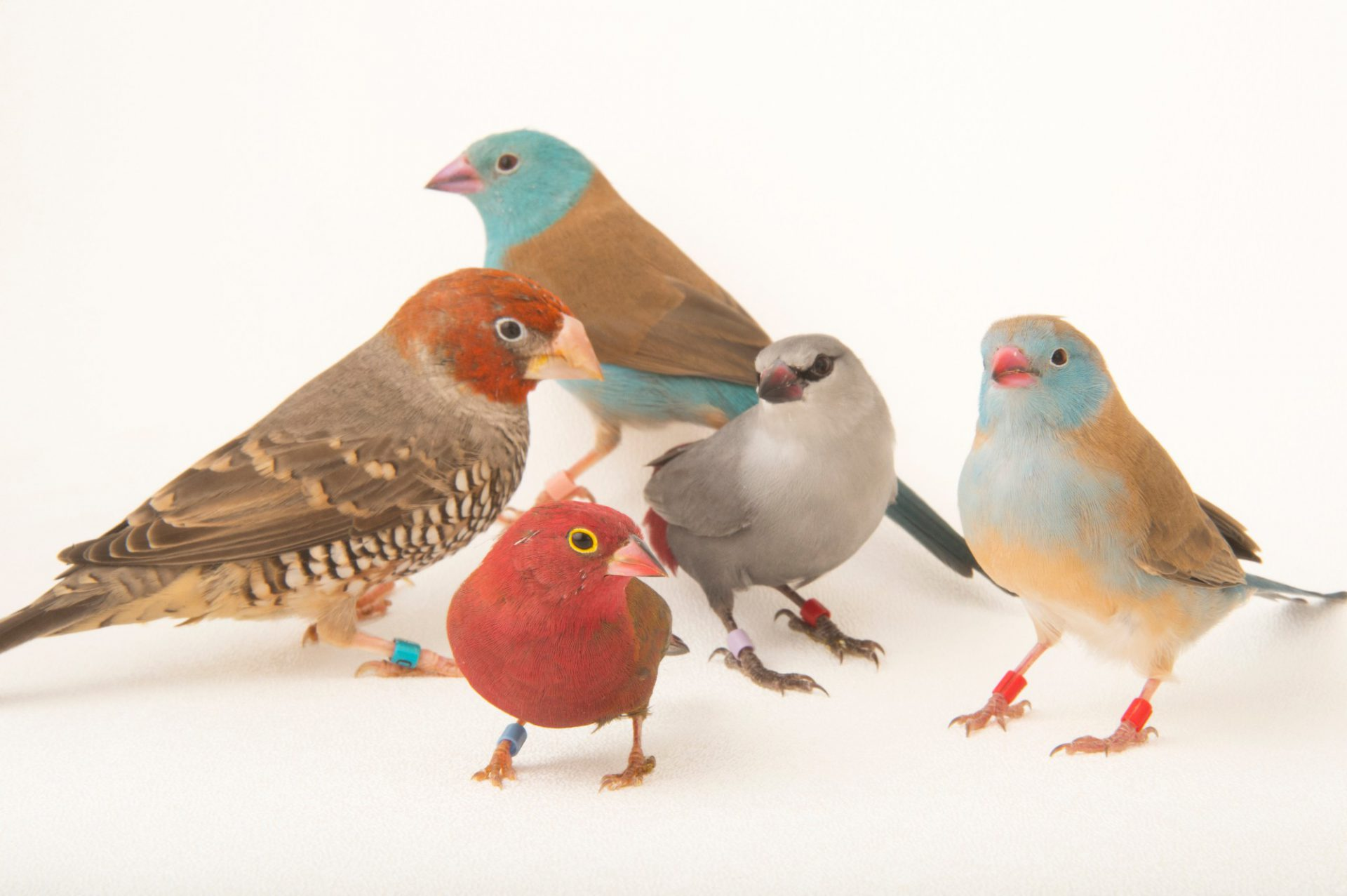 Picture of various finches including two blue-headed cordon-bleus (Uraeginthus cyanocephala), a lavender waxbill (Estrilda caerulescens), a red-headed Finch (Amadina erythrocephala) and a red-billed firefinch (Lagonosticta senegala) at the Tulsa Zoo.