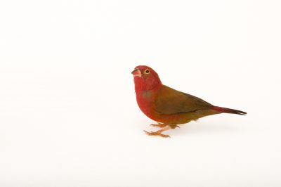 A red-billed firefinch (Lagonosticta senegala) at the Tulsa Zoo.